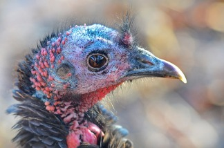 wild-turkey-583190_960_720
